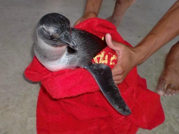 Pinguim encontrado na praia da Ponta da Fruta, em Vila Velha
