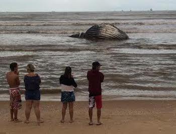 Baleia Jubarte é encontrada em Camburi e atrai curiosos   Folha ...