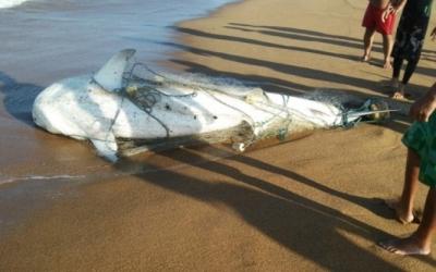 Tubarão encontrado em praia de Linhares é um dos mais perigosos ...
