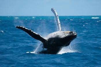 Vagas para ver baleias jubarte no litoral do Espírito Santo já estão ...