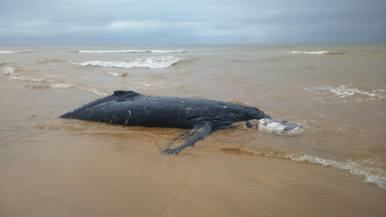 Filhote de baleia Jubarte aparece morto encalhado em praia na Serra