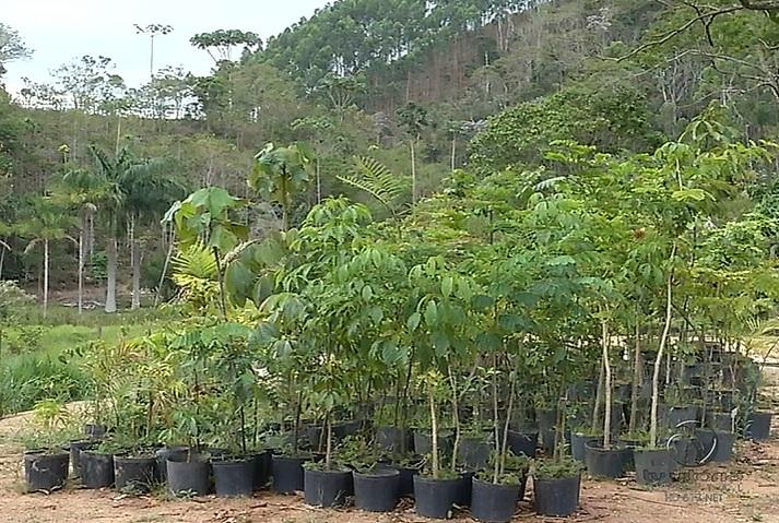Fazendas têm incentivos para produzirem mudas de espécies nativas