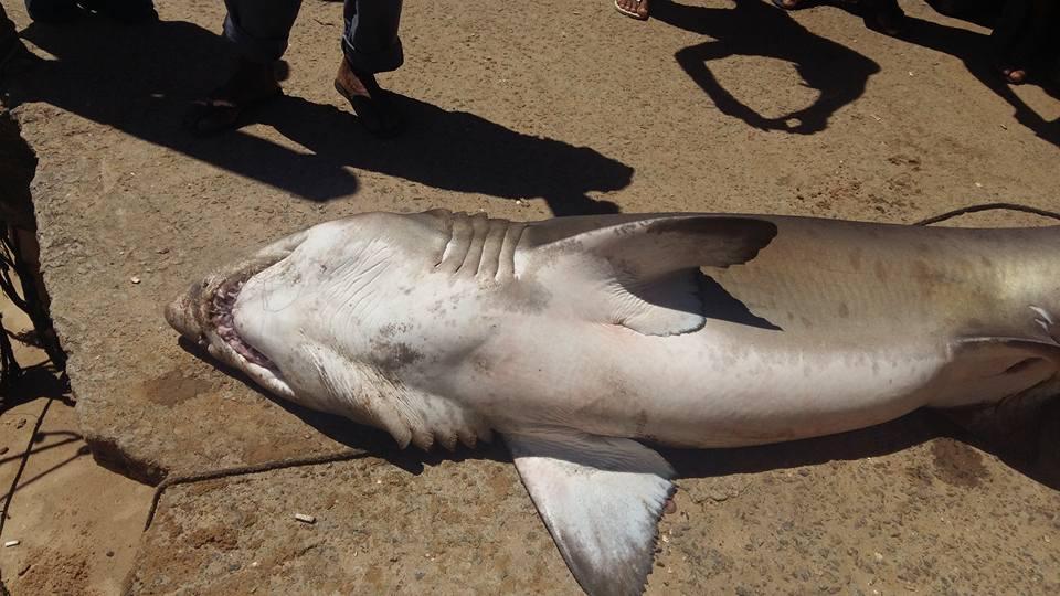 Pescador encontra tubarão de mais de 100 kg em praia de Guarapari