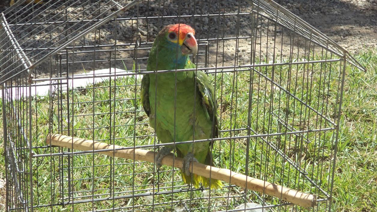 Papagaio raro é resgatado pela Polícia Ambiental em Colatina ...
