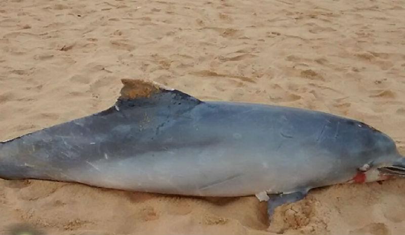 Golfinho é encontrado morto nas areias da Praia da Costa em Vila ...