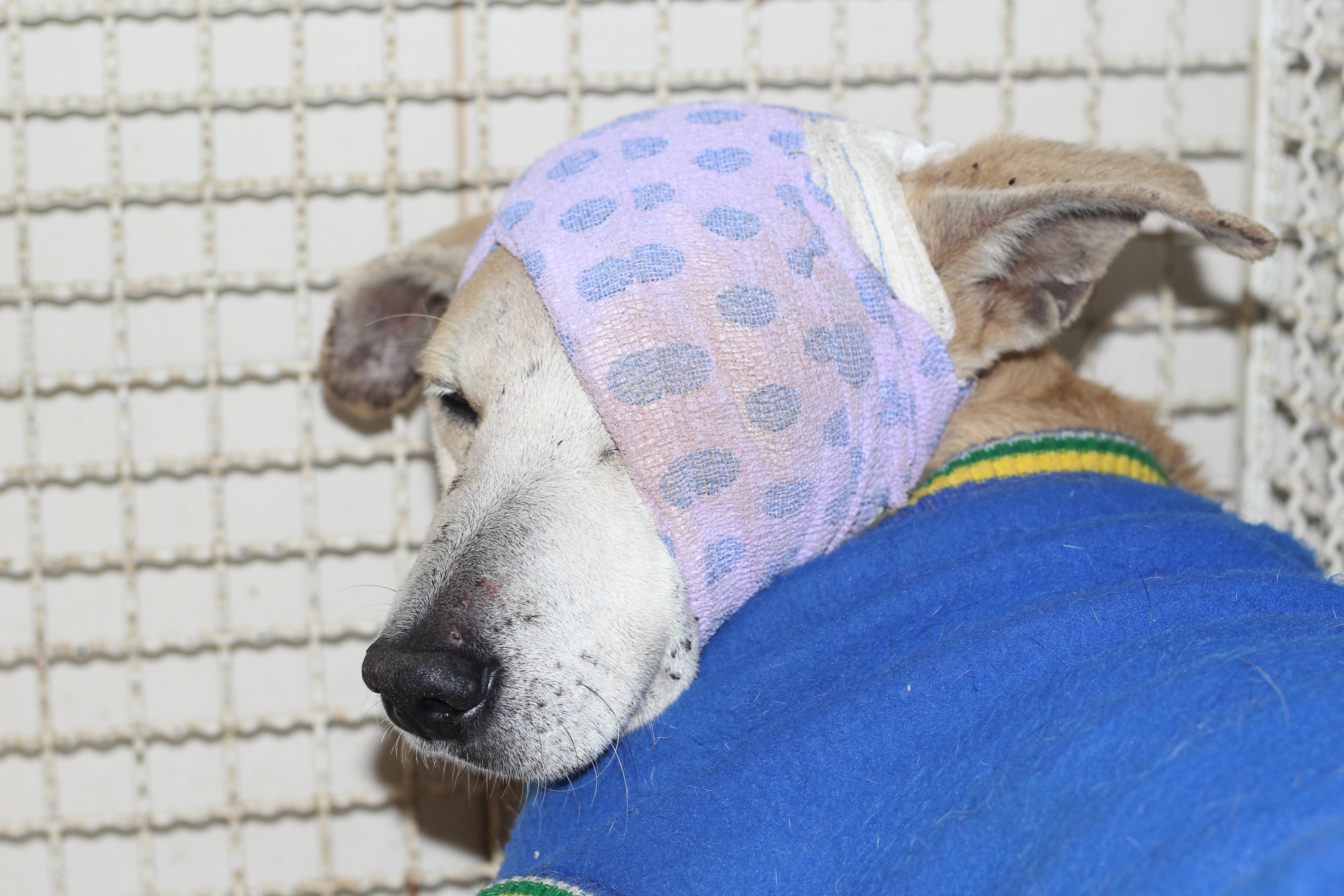 Cachorro agredido a pauladas por idosa em Cachoeiro recebe ...