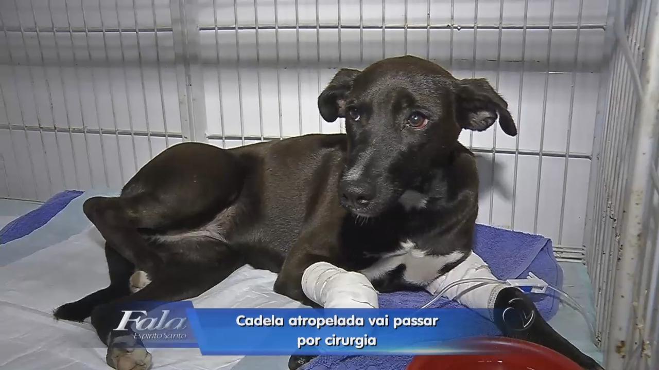 Cadela é atropelada e vai passar por cirurgia | Folha Vitória