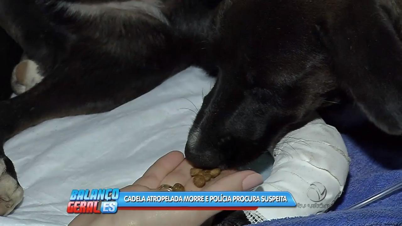 Cadela atropelada morre e polícia procura suspeita | Folha Vitória