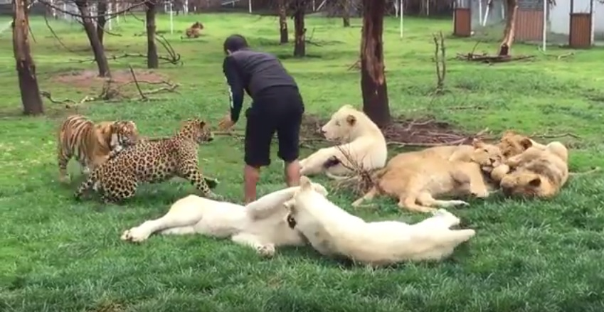 Tigre impede ataque de leopardo e salva cuidador em zoológico ...